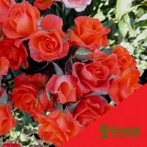 Роза Алегрия (Alegria)
