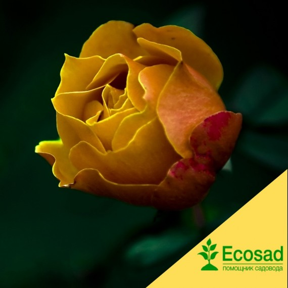 Роза атлантик пэлас