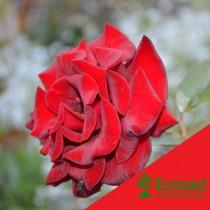 Роза спрей катрин