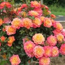 Роза Мандарин (Mandarin)