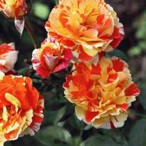 Роза Оранжес энд Лемонс (Oranges and Lemons)