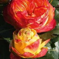 Роза Вулканика (Vulcanica)