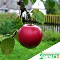 Колоновидная яблоня Графф Эззо