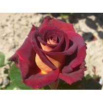Роза Леонида