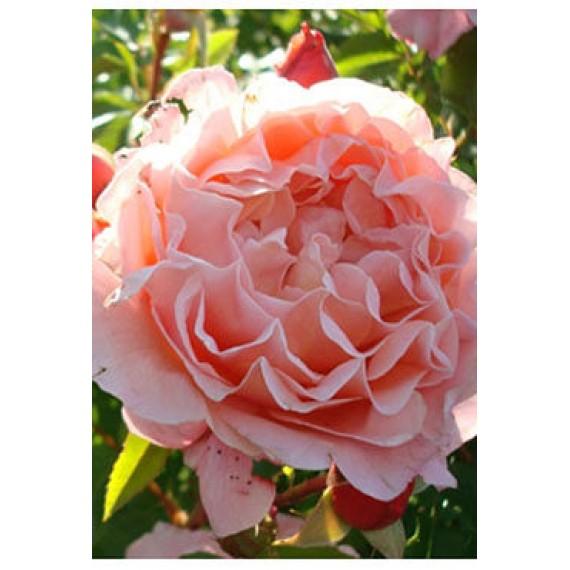 Роза Мерлин