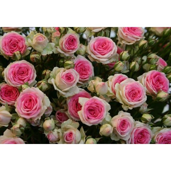 Роза спрей Мими Эдем