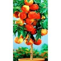Колоновидный персик Тотем