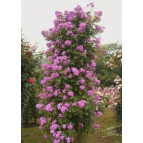 Плетистая роза Лавиния