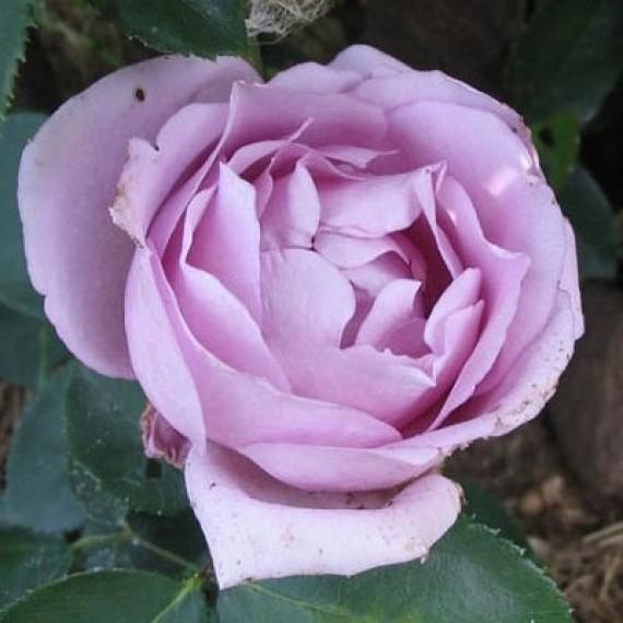 Плетистая роза Сиреневый дождь