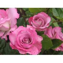 Розита Вендела