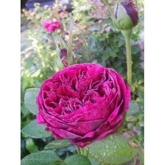 Роза Романтика вишневая