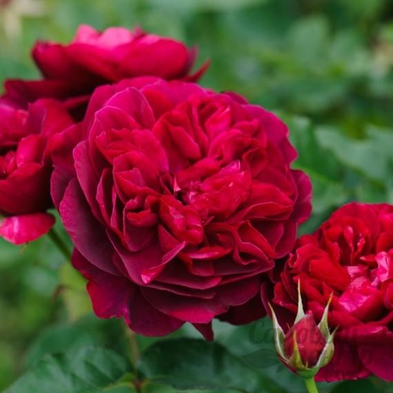 Роза спрей Торнадо