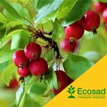 Райские яблочки (красные)