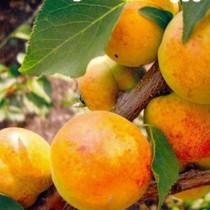 Колоновидный абрикос Первайс