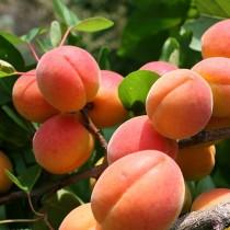 Колоновидный абрикос Санни