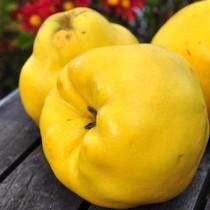 Айва  яблоковидная Кодрянка
