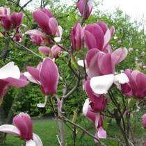 Магнолия Суланжа (Magnolia Soulangeana)