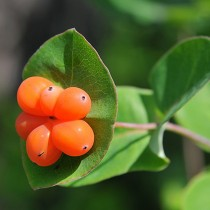 Жимолость оранжевая (Каприфоль)