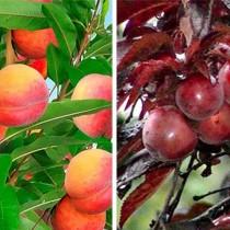 Дерево-сад (персик+краснолистный персик) на 2 почки