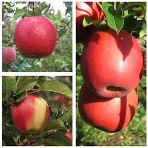 Яблоня дерево-сад (Амброзия + Фуджи + Пинк Леди)