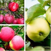 Яблоня дерево-сад (Белый налив + Слава Победителям + Эра)