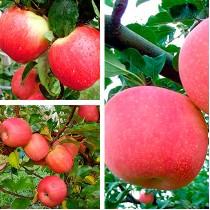 Яблоня дерево-сад (Эрли Женева + Фуджи + Пинк Леди)