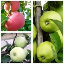 Яблоня дерево-сад (Грин Стар + Эрли Женева + Эрли Голд)