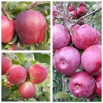 Яблоня дерево-сад (Мельба + Флорина + Амброзия)