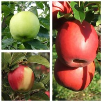 Яблоня дерево-сад (Мельба + Флорина + Сирена)