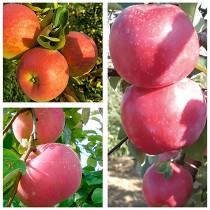 Яблоня дерево-сад (Пирос + Эрли Женева + Фуджи)