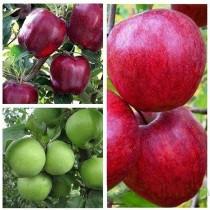 Яблоня дерево-сад (Ред Чиф + Симиренко + Камео)