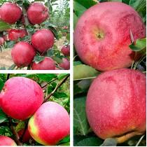 Яблоня дерево-сад (Слава Победителям + Ред Чиф + Флорина)