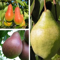 Груша дерево-сад (Талгарская красавица + Мария + Изюминка Крыма)