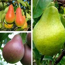 Груша дерево-сад (Талгарская красавица + Изюминка Крыма + Ноябрьская)