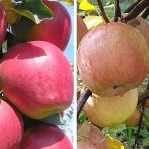 Яблоня дерево-сад (Моди + Фуджи)