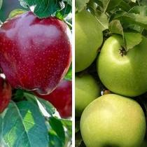 Яблоня дерево-сад (Ред Чиф + Симиренко)