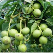 Скороплодный грецкий орех Кочерженко (2-х  летний)