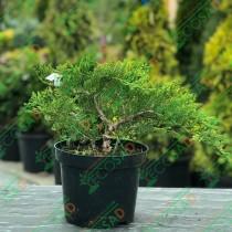 Можжевельник казацкий Tamariscifolia (Тамарисцифолия)