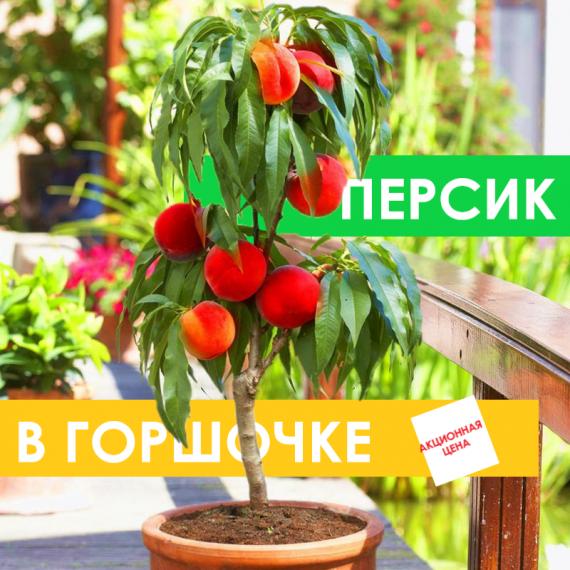 """Персик Карликовый """"Balconella"""" (в горшочке)"""