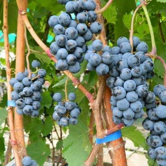 Виноград Веста