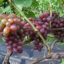 Виноград Вовчик