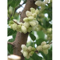 Шелковица Десертная (белая)