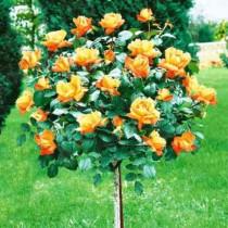 Штамбовая роза Хай Меджик