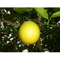 Апельсин Гамлин
