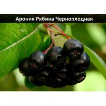Рябина Арония Черноплодная