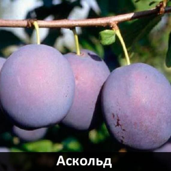 Слива Аскольд