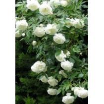 Плетистая роза Мадам Плантье
