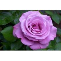 Роза Блу нил