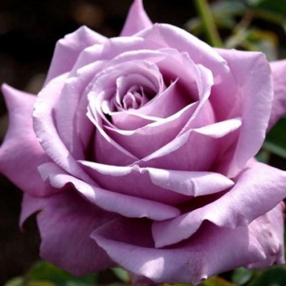 Роза Блу парфюм