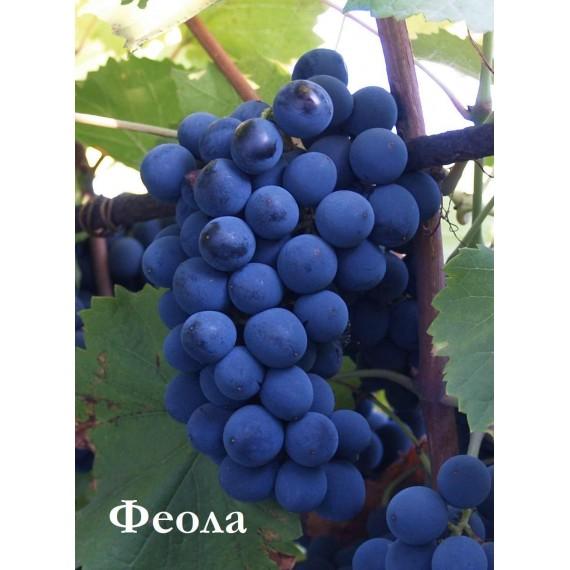 Виноград Феола
